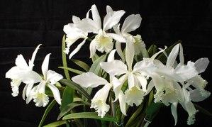 orquidea-cattleya-julio-conceicao